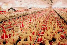 BREEDING OF POULTRY