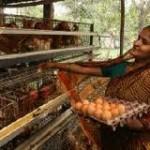 chicken farming in india2