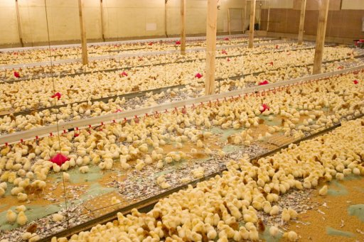 Environmentally Controlled Poultry Shed House Farming
