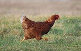 organic chicken5