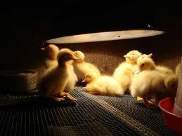 brooding of ducks