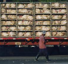poultry live birds