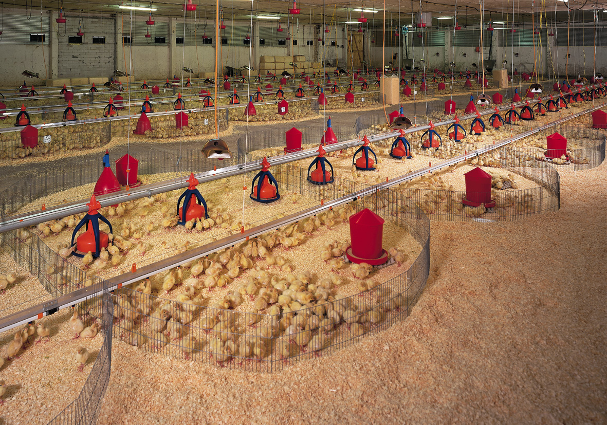 Turkeys brooding guide raising of turkeys the poultry guide for Turkey for 12