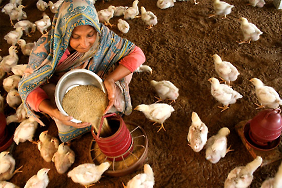 Poultry farming in bangladesh