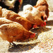 feed and nutrition guide for broiler