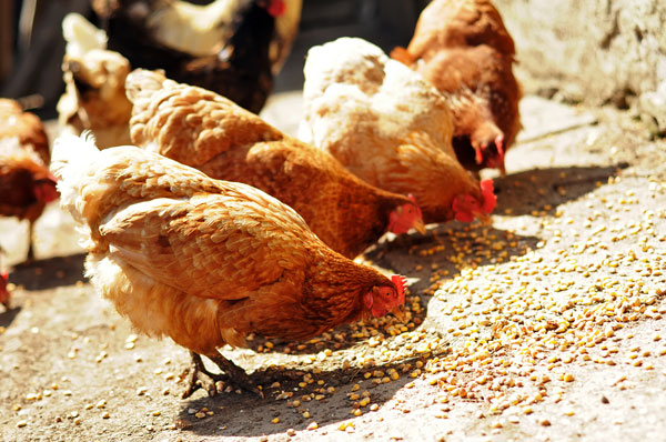 Poultry Nutrition Guide for Backyard or Free Range Chicken