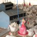 nutrition of broiler