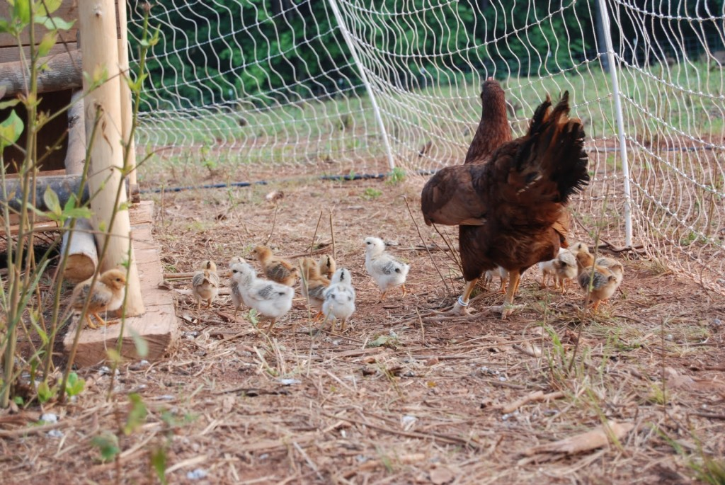 10 Tips for Raising Chickens Economically | The Poultry Guide