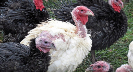 breeds of turkeys