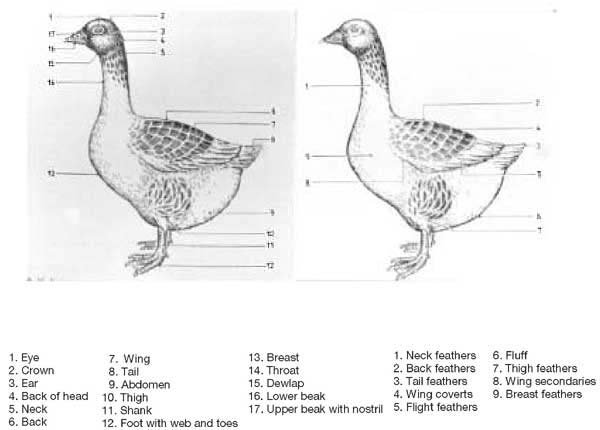 characteristics of geese