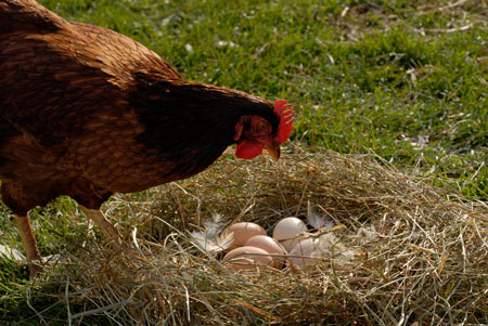 decrease in egg production
