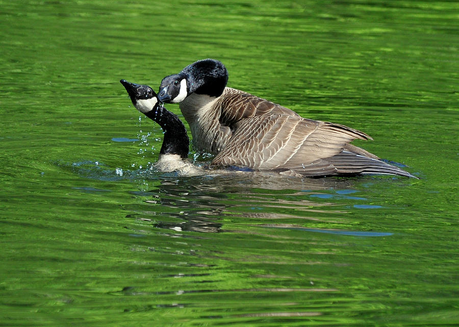 mating of geese