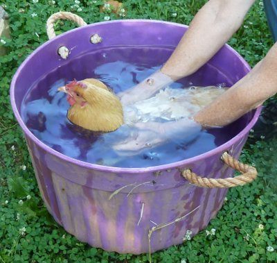 broody hen in cold water