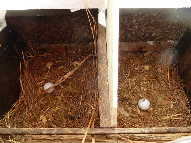 golf balls for broody hens