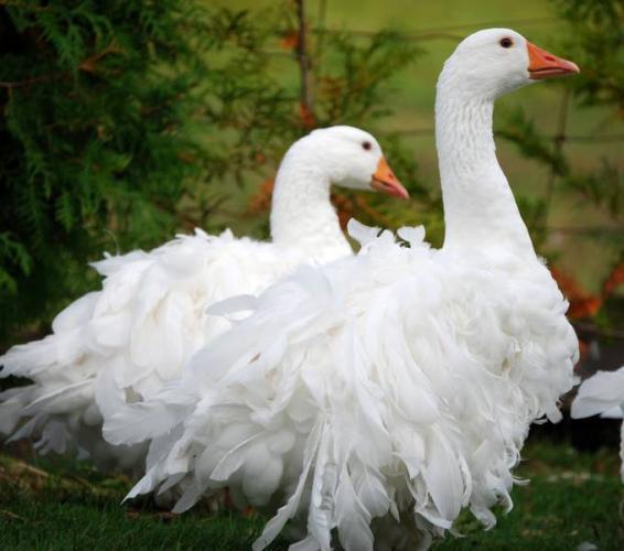 spastopol geese