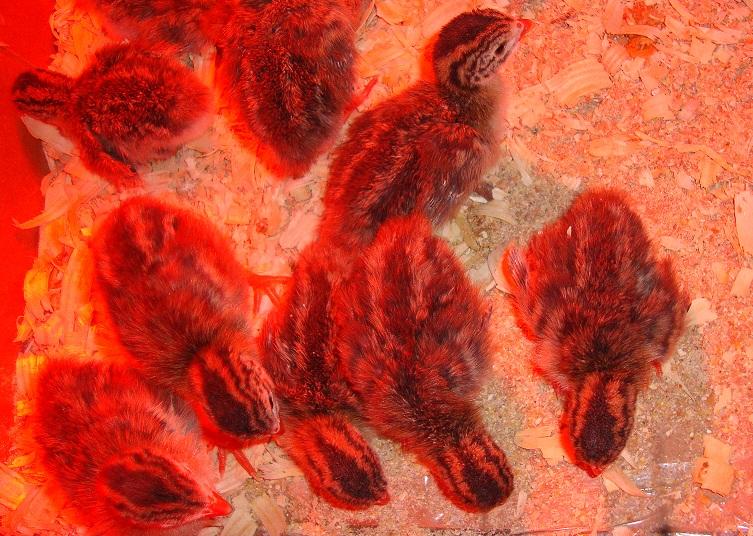 brooding guinea keets