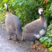 guinea fowl facts