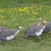 rearing guinea fowl