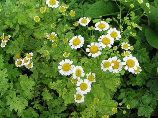 Feverfew for chicken