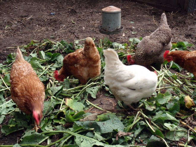 12 Homemade Feed Recipes Give Your Chickens An Organic Diet The