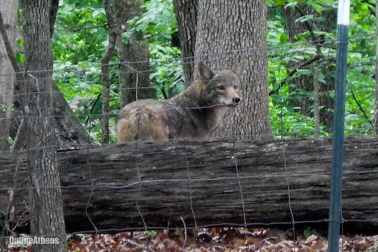 Tips for keeping coyote away from your chicken or livestock
