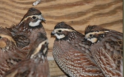 backyard-quail-402x250 Image Result For Raising Quail In Your Backyard