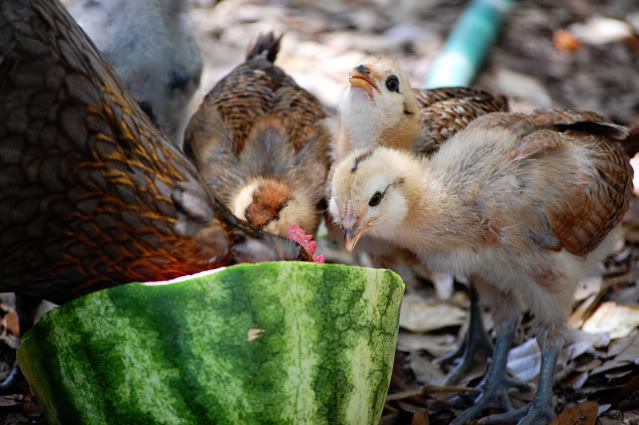 13 tips to protect your chickens from hot weather