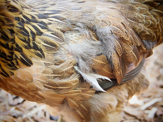 feather pecking