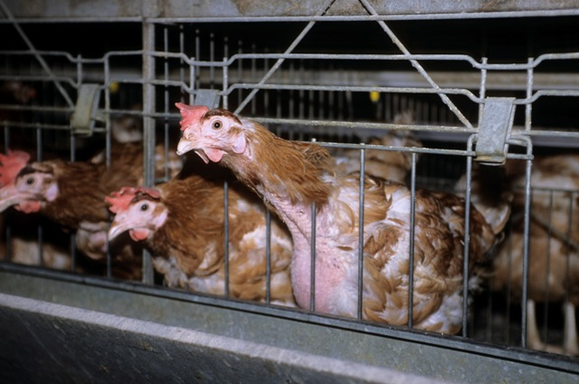self-mutilation in chickens