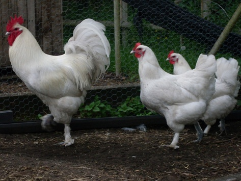 White Langshan chicken breed