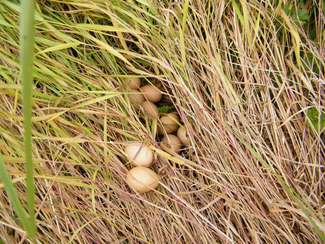 hen hiding egg