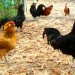 heritage breeds of chicken