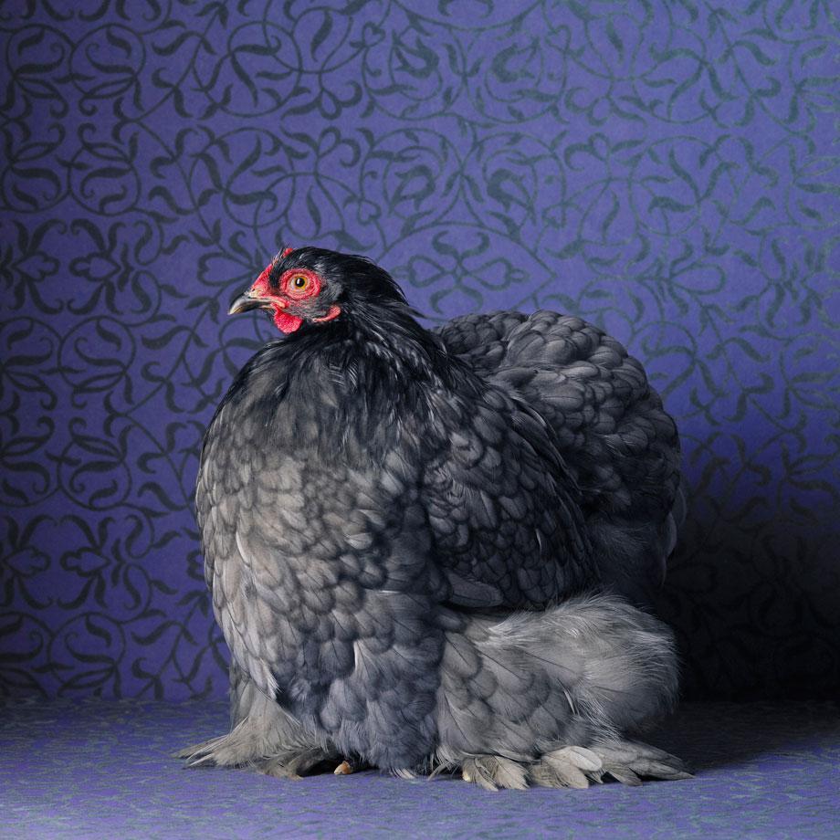 Cochin azul Cochin gallina