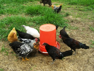 27 Diy Chicken Feeder And Waterer Plans And Ideas The Poultry Guide
