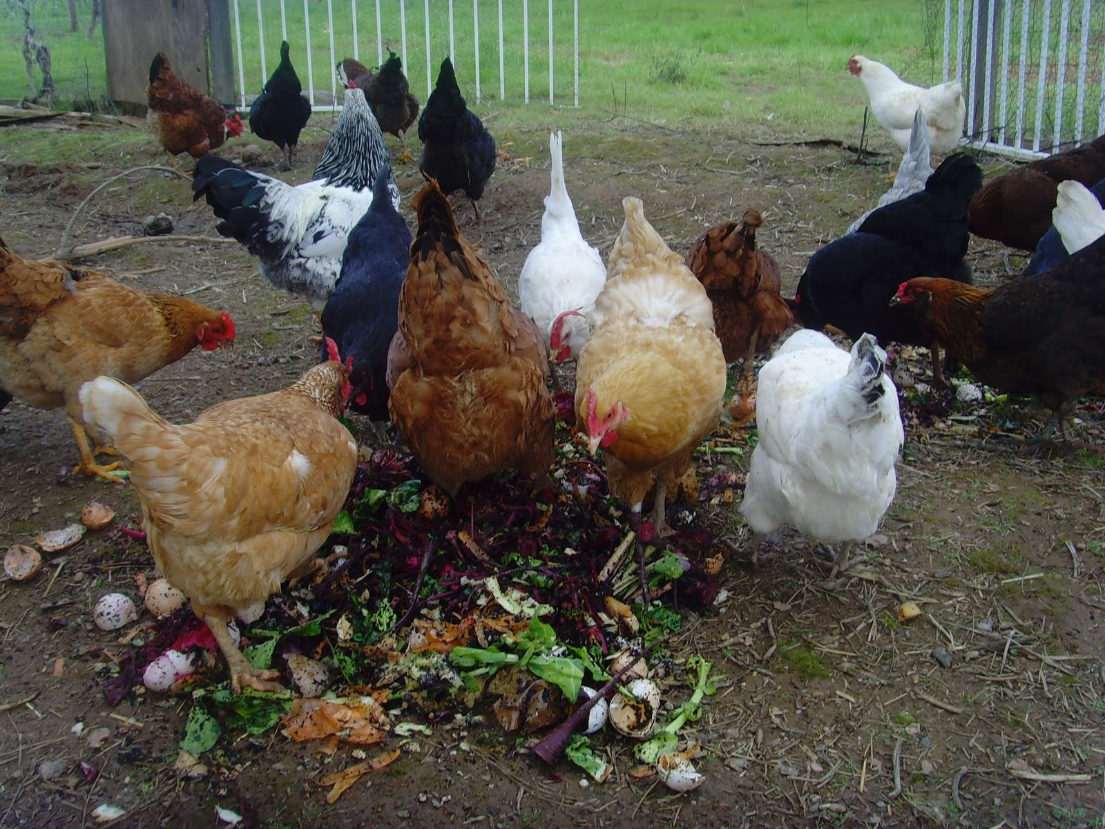 Beau 10 Best And Healthy Treats For Chickens  The Treats Chickens Can Eat