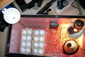10 Homemade Egg Incubators For Cheap Hatching